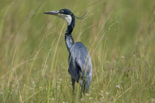 Black-Headed_Heron_WKS_981D5119_Pat_Ayling